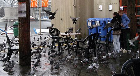 Agressive Pigeons at the Granville Public Market